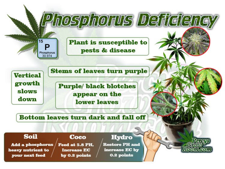 Macro and Micro Nutrients, A brief Description of Symptoms of Phosphorus Deficiency in a Cannabis Plant. Percys Grow Room.com And a Cannabis plant drawing with dark green leaves How to grow legal cannabis, a step by step guide to growing weed, cannabis growing guide, tips for marijuana growers, growing cannabis plants for the first time, marijuana growers forum, marijuana growing tips, cannabis plant problems, cannabis plant help, marijuana growing expert advice.
