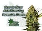 how to grow autoflowering cannabis plants, pots for growing cannabis,Cannabis growers forum & community, How to grow cannabis, how to grow weed, a step by step guide to growing weed, cannabis growers forum, need help with sick plant, what's wrong with my cannabis plant, percys Grow Room, the Grow Room, percys Grow Guides, we'd growing forum, weed growers community, how to grow weed in coco, when is my cannabis plant ready for harvest, how to feed my cannabis plant, beginners guide to growing weed, how to grow weed for personal use, cannabis plant deficiency, how to germinate cannabis seeds, where to buy cannabis seeds, best weed growers website