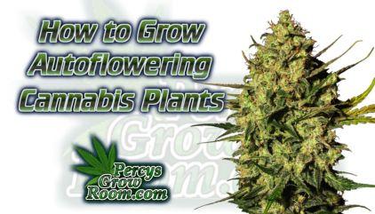Autoflowering Experimental Grow, by Macky - Percys Grow Room