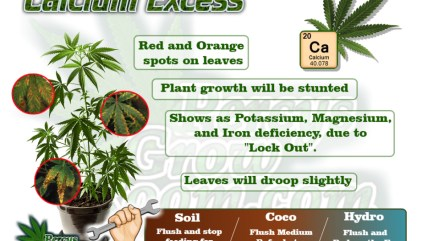 Calcium Deficiency in a Cannabis Plant - Percys Grow Room