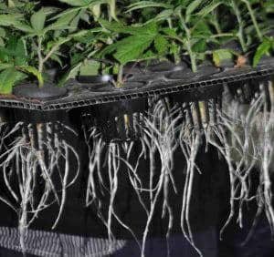 Roots on a cannabis plant, Cannabis growers forum & community, How to grow cannabis, how to grow weed, a step by step guide to growing weed, cannabis growers forum, need help with sick plant, what's wrong with my cannabis plant, percy's Grow Room, the Grow Room, Cannabis Grow Guides, weed growing forum, weed growers community, how to grow weed in coco, when is my cannabis plant ready for harvest, how to feed my cannabis plant, beginners guide to growing weed, how to grow weed for personal use, cannabis plant deficiency, how to germinate cannabis seeds, where to buy cannabis seeds, best weed growers website, Learn to grow cannabis, is it easy to grow weed