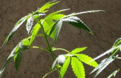 Vegging a cannabis plant, cannabis plant vegetation, Cannabis growers forum & community, How to grow cannabis, how to grow weed, a step by step guide to growing weed, cannabis growers forum, need help with sick plant, what's wrong with my cannabis plant, percys Grow Room, the Grow Room, percys Grow Guides, we'd growing forum, weed growers community, how to grow weed in coco, when is my cannabis plant ready for harvest, how to feed my cannabis plant, beginners guide to growing weed, how to grow weed for personal use, cannabis plant deficiency, how to germinate cannabis seeds, where to buy cannabis seeds, best weed growers website