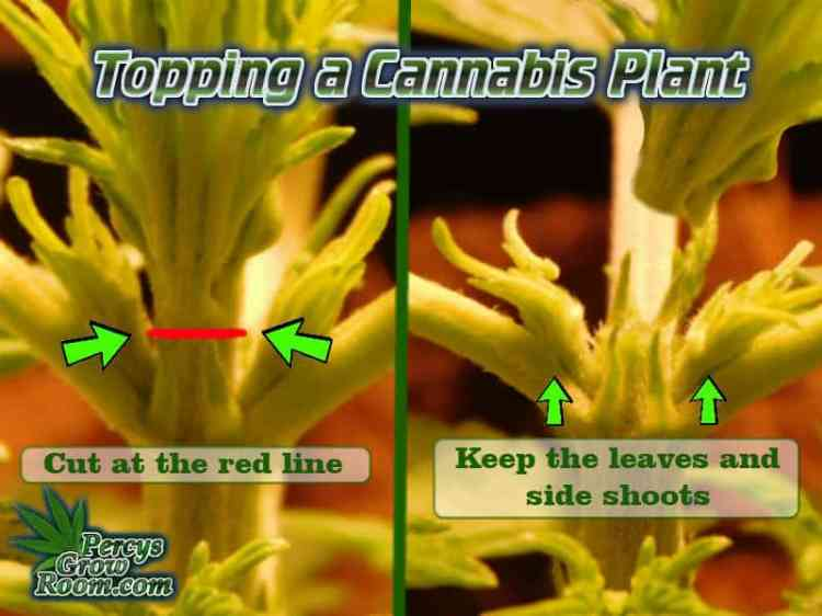 How to top a cannabis plant, topping a cannabis plant, should i top my cannabis plant, what is topping,