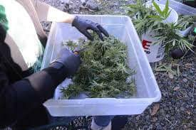 harvesting cannabis outdoors, plastic tub of cannabis, Cannabis growers forum & community, How to grow cannabis, how to grow weed, a step by step guide to growing weed, cannabis growers forum, need help with sick plant, what's wrong with my cannabis plant, percy's Grow Room, the Grow Room, Cannabis Grow Guides, weed growing forum, weed growers community, how to grow weed in coco, when is my cannabis plant ready for harvest, how to feed my cannabis plant, beginners guide to growing weed, how to grow weed for personal use, cannabis plant deficiency, how to germinate cannabis seeds, where to buy cannabis seeds, best weed growers website, Learn to grow cannabis, is it easy to grow weed