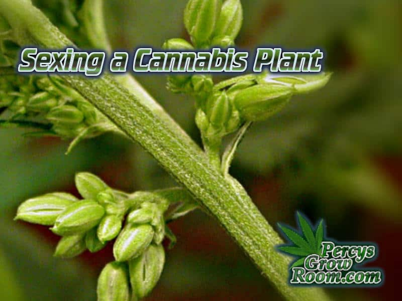 is my cannabis plant male, sexing a cannabis plant, what does a male cannabis plant look like, has my plant hermied, is my cannabis plant male or female, How to grow cannabis, how to grow weed, a step by step guide to growing weed, cannabis growers forum, need help with sick plant, what's wrong with my cannabis plant, percys Grow Room, the Grow Room, percys Grow Guides, we'd growing forum, weed growers community, how to grow weed in coco, when is my cannabis plant ready for harvest, how to feed my cannabis plant, beginners guide to growing weed, how to grow weed for personal use, cannabis plant deficiency, how to germinate cannabis seeds, where to buy cannabis seeds, best weed growers website, Cannabis Growers forum, weed growers forum, How to grow legal cannabis, a step by step guide to growing weed, cannabis growing guide, tips for marijuana growers, growing cannabis plants for the first time, marijuana growers forum, marijuana growing tips, cannabis plant problems, cannabis plant help, marijuana growing expert advice