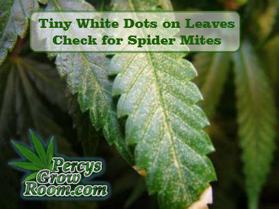 tiny white dots on leaves, cannabis plant, spider mites bites, what do spider mites look like, How to grow cannabis, how to grow weed, a step by step guide to growing weed, cannabis growers forum, need help with sick plant, what's wrong with my cannabis plant, percys Grow Room, the Grow Room, percys Grow Guides, we'd growing forum, weed growers community, how to grow weed in coco, when is my cannabis plant ready for harvest, how to feed my cannabis plant, beginners guide to growing weed, how to grow weed for personal use, cannabis plant deficiency, how to germinate cannabis seeds, where to buy cannabis seeds, best weed growers website, Cannabis Growers forum, weed growers forum, How to grow legal cannabis, a step by step guide to growing weed, cannabis growing guide, tips for marijuana growers, growing cannabis plants for the first time, marijuana growers forum, marijuana growing tips, cannabis plant problems, cannabis plant help, marijuana growing expert advice