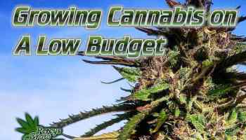 Growing cannabis on a low budget, budget growing, cannabis How to grow cannabis, how to grow weed, a step by step guide to growing weed, cannabis growers forum, need help with sick plant, what's wrong with my cannabis plant, percys Grow Room, the Grow Room, percys Grow Guides, we'd growing forum, weed growers community, how to grow weed in coco, when is my cannabis plant ready for harvest, how to feed my cannabis plant, beginners guide to growing weed, how to grow weed for personal use, cannabis plant deficiency, how to germinate cannabis seeds, where to buy cannabis seeds, best weed growers website, Cannabis Growers forum, weed growers forum, How to grow legal cannabis, a step by step guide to growing weed, cannabis growing guide, tips for marijuana growers, growing cannabis plants for the first time, marijuana growers forum, marijuana growing tips, cannabis plant problems, cannabis plant help, marijuana growing expert advice
