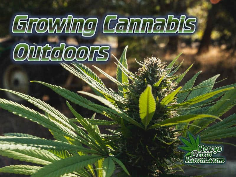 Growing Cannabis outdoors, how to gro wcannabis outdoors, can you gro cannabis outdoors in the uk, How to grow cannabis, how to grow weed, a step by step guide to growing weed, cannabis growers forum, need help with sick plant, what's wrong with my cannabis plant, percys Grow Room, the Grow Room, percys Grow Guides, we'd growing forum, weed growers community, how to grow weed in coco, when is my cannabis plant ready for harvest, how to feed my cannabis plant, beginners guide to growing weed, how to grow weed for personal use, cannabis plant deficiency, how to germinate cannabis seeds, where to buy cannabis seeds, best weed growers website, Cannabis Growers forum, weed growers forum, How to grow legal cannabis, a step by step guide to growing weed, cannabis growing guide, tips for marijuana growers, growing cannabis plants for the first time, marijuana growers forum, marijuana growing tips, cannabis plant problems, cannabis plant help, marijuana growing expert advice