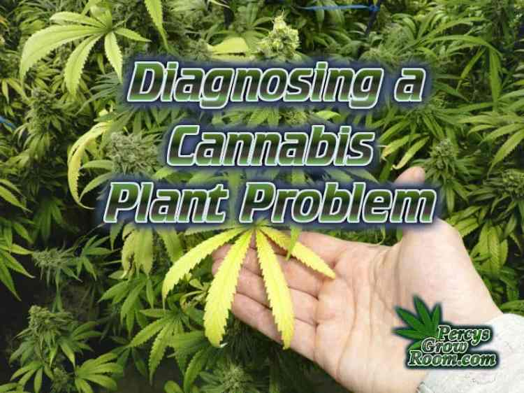 Help with diagnosing a cannabis plant problem, plant deficiency guides, grow cannabis, how to grow weed, a step by step guide to growing weed, cannabis growers forum, need help with sick plant, what's wrong with my cannabis plant, percys Grow Room, the Grow Room, percys Grow Guides, we'd growing forum, weed growers community, how to grow weed in coco, when is my cannabis plant ready for harvest, how to feed my cannabis plant, beginners guide to growing weed, how to grow weed for personal use, cannabis plant deficiency, how to germinate cannabis seeds, where to buy cannabis seeds, best weed growers website, Cannabis Growers forum, weed growers forum, How to grow legal cannabis, a step by step guide to growing weed, cannabis growing guide, tips for marijuana growers, growing cannabis plants for the first time, marijuana growers forum, marijuana growing tips, cannabis plant problems, cannabis plant help, marijuana growing expert advice