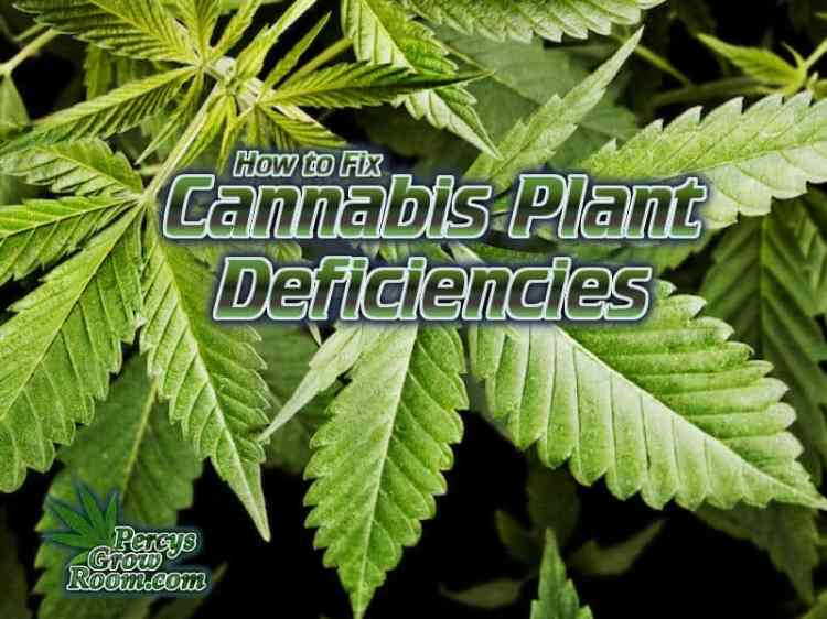 how to fix cannabis plant deficiencies,, grow cannabis, how to grow weed, a step by step guide to growing weed, cannabis growers forum, need help with sick plant, what's wrong with my cannabis plant, percys Grow Room, the Grow Room, percys Grow Guides, we'd growing forum, weed growers community, how to grow weed in coco, when is my cannabis plant ready for harvest, how to feed my cannabis plant, beginners guide to growing weed, how to grow weed for personal use, cannabis plant deficiency, how to germinate cannabis seeds, where to buy cannabis seeds, best weed growers website, Cannabis Growers forum, weed growers forum, How to grow legal cannabis, a step by step guide to growing weed, cannabis growing guide, tips for marijuana growers, growing cannabis plants for the first time, marijuana growers forum, marijuana growing tips, cannabis plant problems, cannabis plant help, marijuana growing expert advice