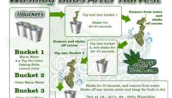 how to wash buds after harvest, bud washing, what is bud washing