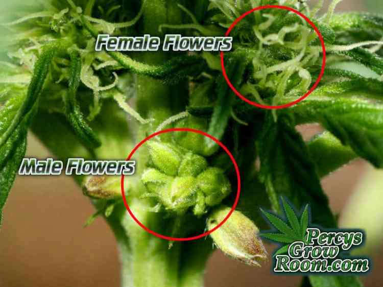 Hermaphrodite Cannabis Plants, How to grow cannabis, how to grow weed, a step by step guide to growing weed, cannabis growers forum, need help with sick plant, what's wrong with my cannabis plant, percys Grow Room, the Grow Room, percys Grow Guides, we'd growing forum, weed growers community, how to grow weed in coco, when is my cannabis plant ready for harvest, how to feed my cannabis plant, beginners guide to growing weed, how to grow weed for personal use, cannabis plant deficiency, how to germinate cannabis seeds, where to buy cannabis seeds, best weed growers website, Cannabis Growers forum, weed growers forum, How to grow legal cannabis, a step by step guide to growing weed, cannabis growing guide, tips for marijuana growers, growing cannabis plants for the first time, marijuana growers forum, marijuana growing tips, cannabis plant problems, cannabis plant help, marijuana growing expert advice