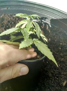 How to hold the seedling, beginners guide to growing weed, how to grow weed for personal use, cannabis plant deficiency, how to germinate cannabis seeds, where to buy cannabis seeds, best weed growers website, Cannabis Growers forum, weed growers forum, How to grow legal cannabis, a step by step guide to growing weed, cannabis growing guide, tips for marijuana growers, growing cannabis plants for the first time, marijuana growers forum, marijuana growing tips, cannabis plant problems, cannabis plant help, marijuana growing expert advice