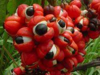 Le guarana pour sécher