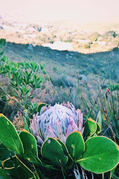 Rod's Trail, Betty's Bay, mountains, hiking, overberg, overberg hiking, adventure, travel, explore, fynbos, kogelberg, protea