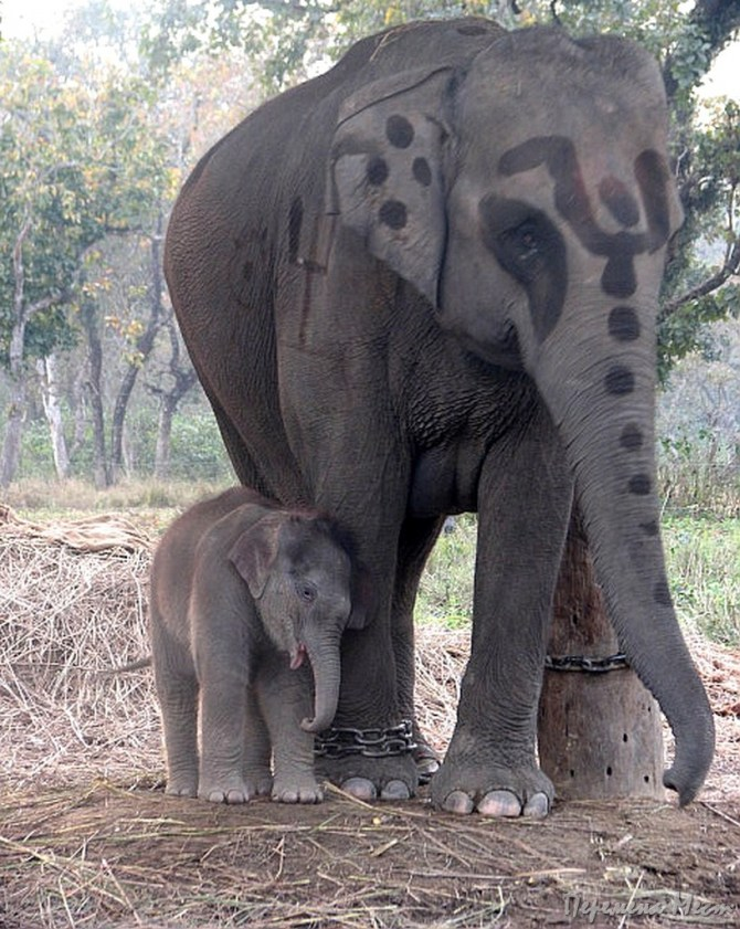 Непал Читван слоны