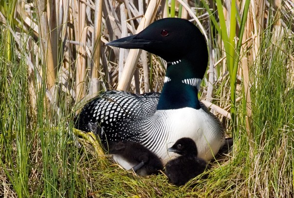 In this photo taken at Ferry Lake, a female common loon sits with her chicks on her nest in 2005. Her longtime mate was found dead over the winter, but she has found another mate and is again sitting on a nest with eggs.  There are only 12 pairs left in Washington and none known pairs in North Idaho.   Courtesy of Daniel Poleschook, Jr. and Virginia R. Gumm