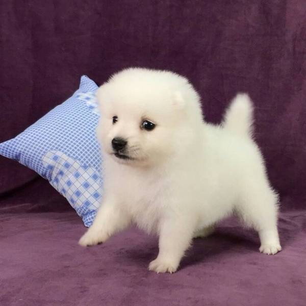 San Diego Japanese Spitz Perfect Puppy Com
