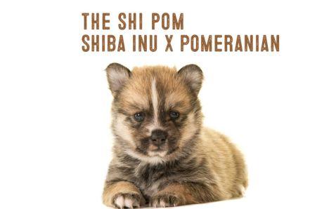 shiba_pomeranian mix
