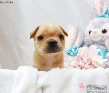 Golden cream French bulldog girl