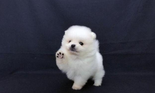 Teacup Pomeranian -PRADA 2
