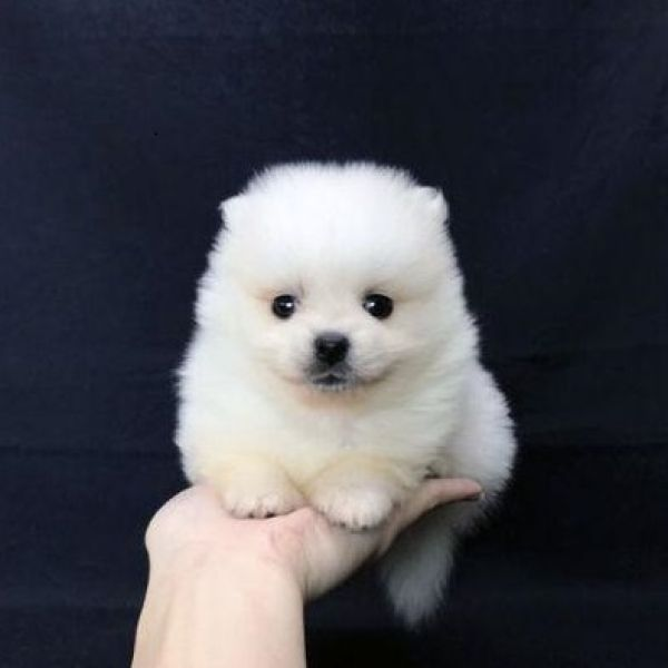 Pomeranian puppies for sale in San Francisco Bay area – perfect