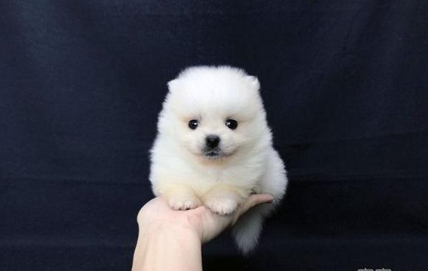 Teacup Pomeranian -PRADA