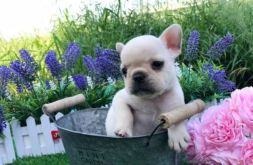 creame French bulldog 27