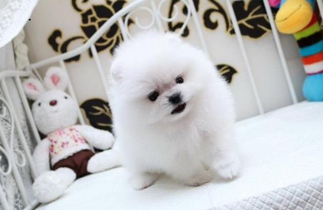 highest class White Pomeranian 3