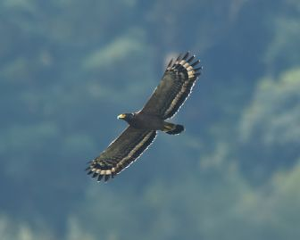 Taiwan serpent eagle