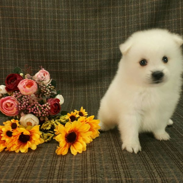 Japanese Spitz puppies for sale in San Diego Seattle Miami