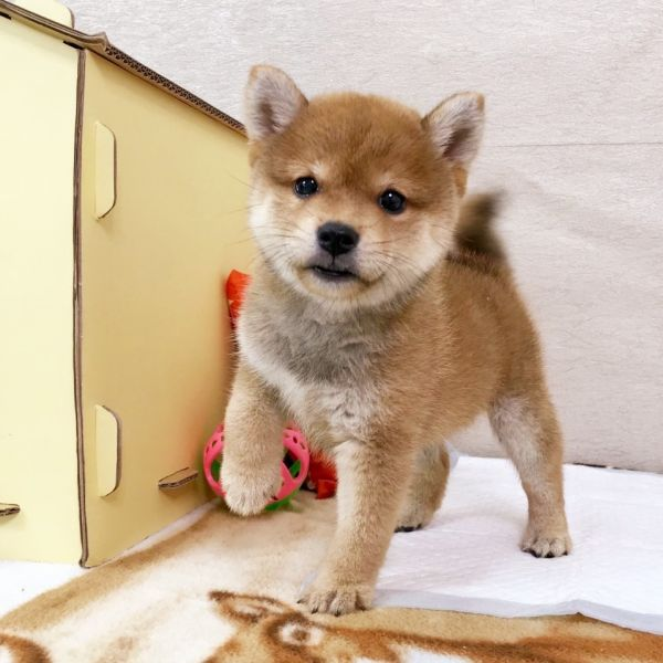 Shiba Inu puppies for sale in San Diego Seattle Miami