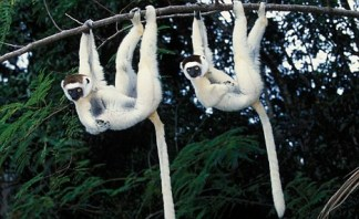 Two Verreaux's sifakas (Propithecus verreauxi) hanging from a branch, Nahampoana reserve, Madagascar South