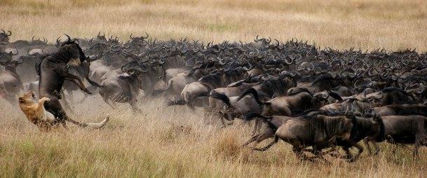 d187-hero-kenya-masi-mara-plains-wildlife-wildebeest-lion-2000x837