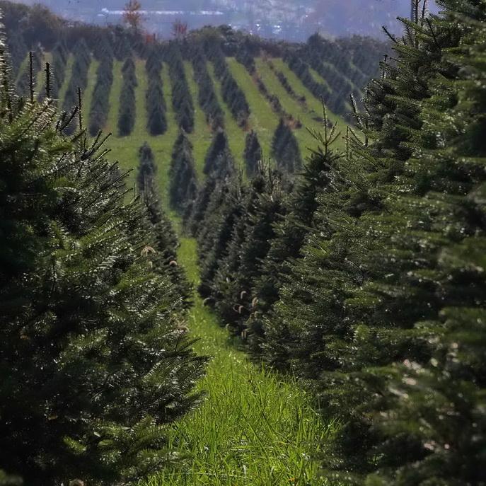 Cut Your Own Christmas Tree York Pa: Perfect Christmas Tree Farm