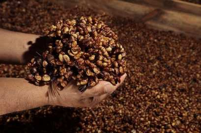 VIDEO: What Is Honey Processed Coffee & How Is It Produced ...