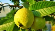 How Does Guava Leaves Help In Hair Grow?
