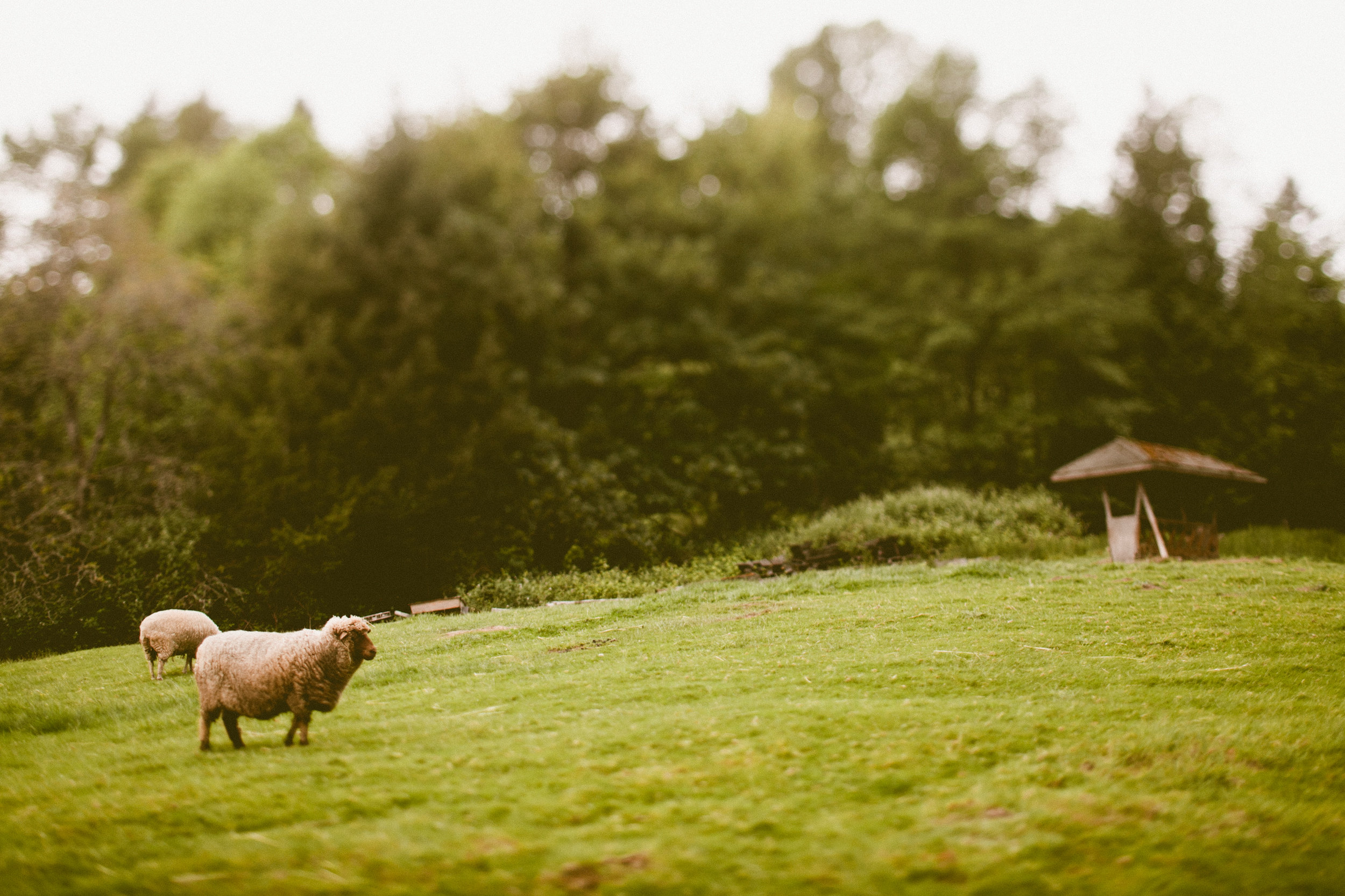 DeLille Cellars wedding in Woodinville | Sheep in pasture at wedding venue | Perfectly Posh Events | Seattle Wedding Planner | Andria Lindquist Photography