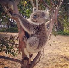 Koala perfume - Perfume Clearance Centre