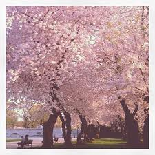 cherry blossoms - shiseido perfume