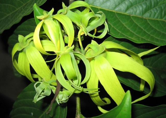 Ylang & Vanille Guerlain Ylang Ylang Flowers Wikimedia