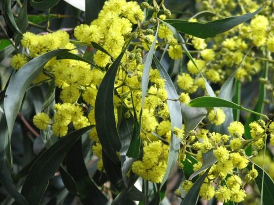 Mimosa Pour Moi L`Artisan Parfumeur Golden_Wattle WikiCommons