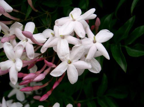Idylle Eau Sublime Guerlain Jasminum_polyanthum Wikipedia
