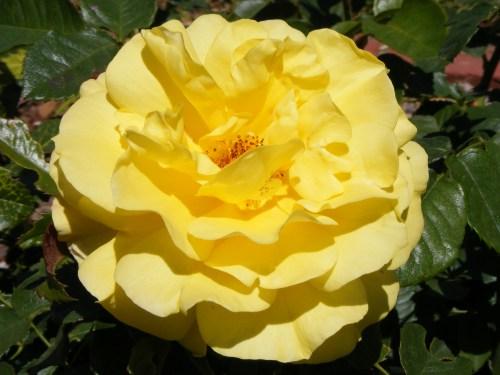 Rose d`Ete Les Parfums de Rosine Bright_yellow_rose Wikipedia