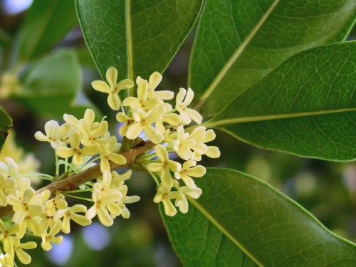 vanille-d'iris-ormonde-jayne Osmanthus_fragrans Wikipedia