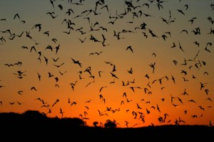 Zoologist Bat - 2016 Art and Olfaction Award Finalist
