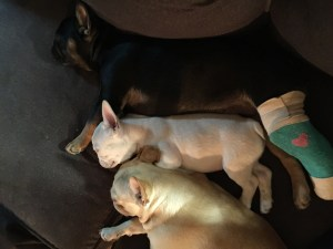 French Bulldogs Denver