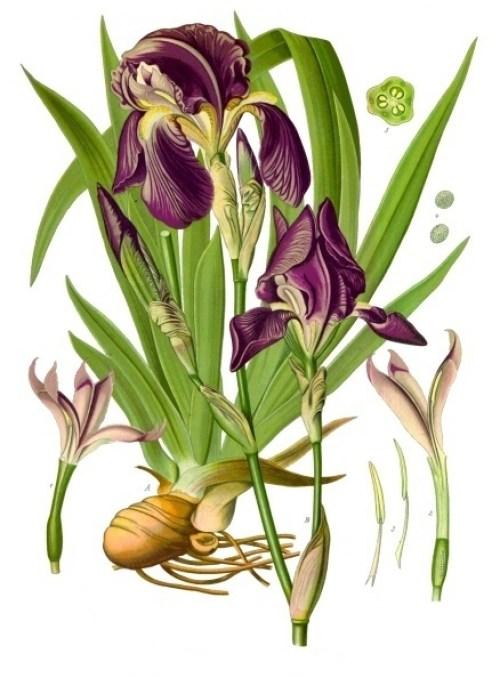 Silvana IL PROFVMO Iris_×_germanica WikiCommons