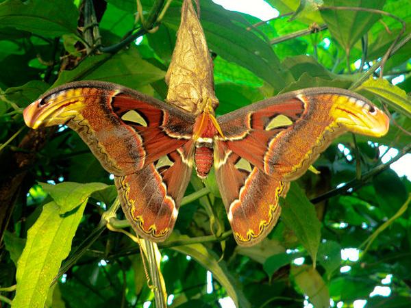perierga.gr - Μια πεταλούδα... Τιτάνας!