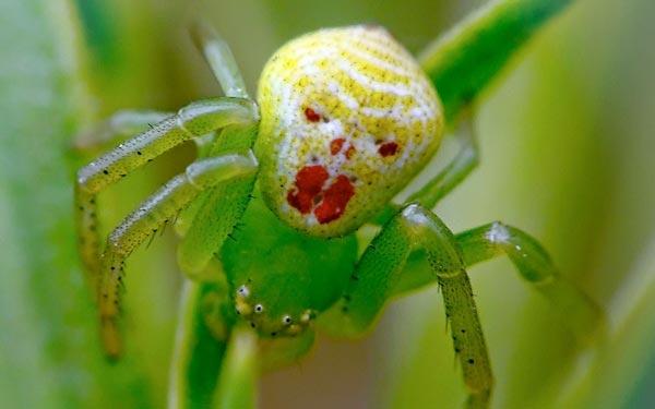 Perierga.gr - Η αράχνη με το αλλόκοτο... πρόσωπο!